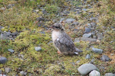 Gull chick at Jökulsárlón / Möwenjunges an der Jökulsárlón