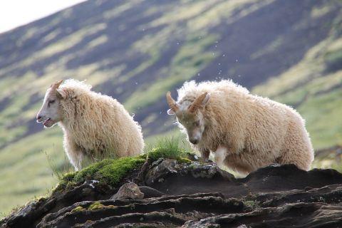Lambs at Laugarvatnshellir / Lämmer bei den Laugarvatnshellir